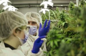 MarijuanaProducers